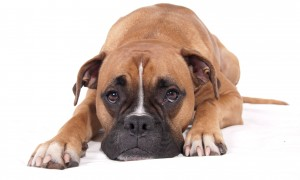 Animals___Dogs__Sad_boxer_on_a_white_floor_050480_