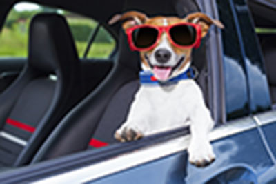 dog leaning out the car window making a cool gesture wearing red sunglasses
